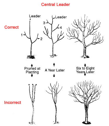 Correct Way to Prune a Centre Leader, Hilary Rinaldi, weekendgardener.net