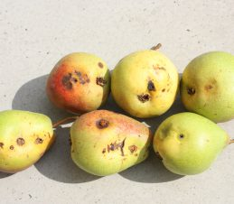Identifying the Damage, Codling Moth Damage on Pears, BC Ministry of Agriculture