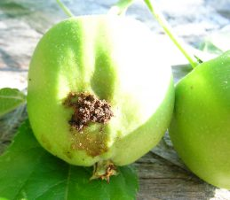 Identifying the Damage, Codling Moth Damage on a Young Apple, BC Ministry of Agriculture