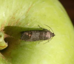 Codling Moth Adult, Whitney Cranshaw, Colorado State University, Bugwood.org