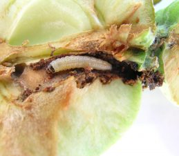 Codling Moth Larva with Damaged Fruit, BC Ministry of Agriculture