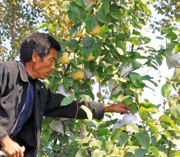 Bagging Fruit on a Quince Tree, SIR Program