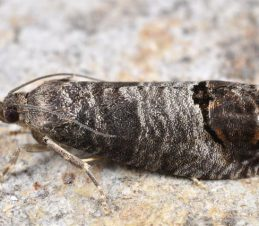 Codling Moth Identification, Adult Codling Moth, BC Ministry of Agriculture