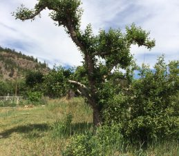 Hard Pruning, Apple Tree 2.5 Months After Hard Pruning, SIR Program