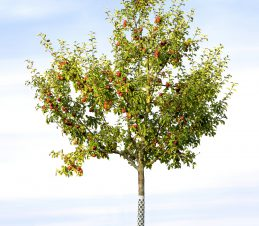 On Young Trees Pruning Encourages a Strong, Solid Framework, SIR Program