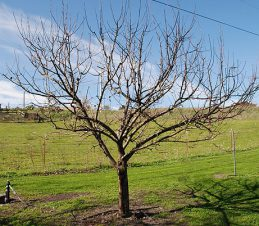 Open Centre Pruned Apple Tree, Hilary Rinaldi, weekendgardener.net