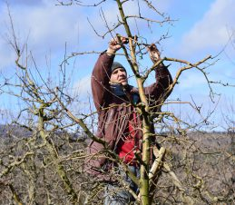 Pruning Mature and Neglected Trees, SIR Program